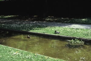 Ducks-Reflecting Pools